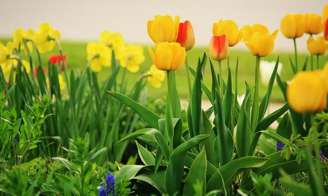 tulips Scarborough, Ontario Canada