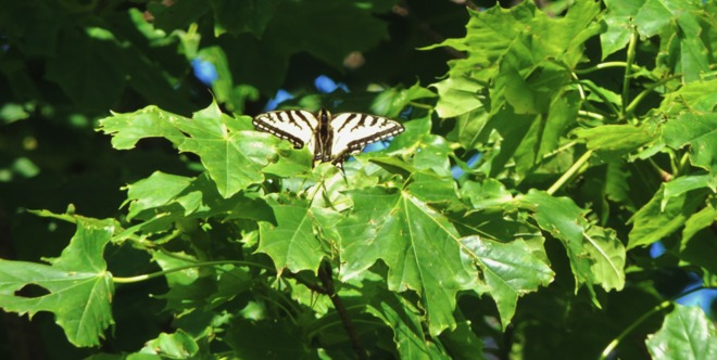 Butterfly, from far away. St. John's, Newfoundland and Labrador Canada