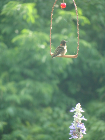 The hummingbird swing. Barrie, Ontario Canada