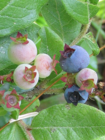 Blueberries starting to Ripen Moncton, New Brunswick Canada
