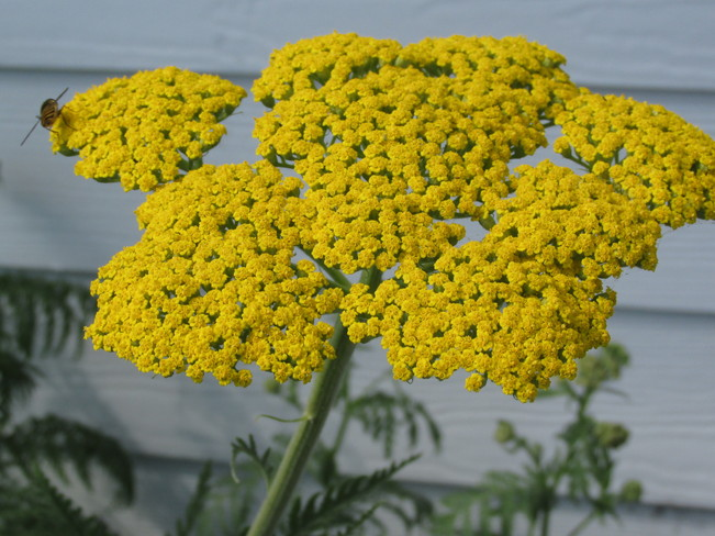Classy Yarrow with Bee Moncton, New Brunswick Canada
