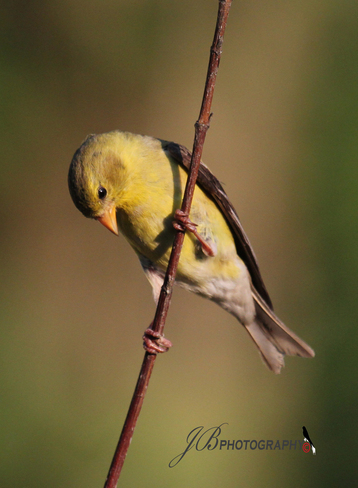 Female American Goldfinch Port Coldwell, Ontario Canada