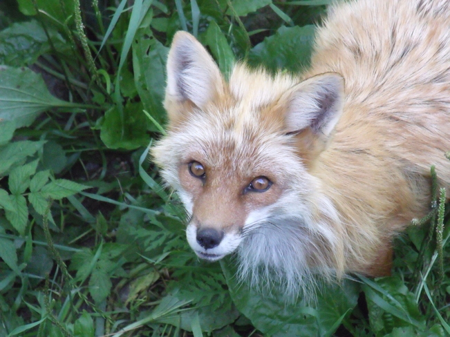 Gorgeous Fox Montebello, Quebec Canada