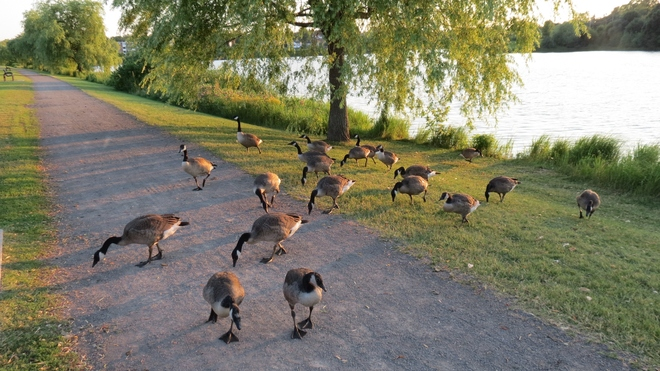 Geese Galore! Moncton, New Brunswick Canada