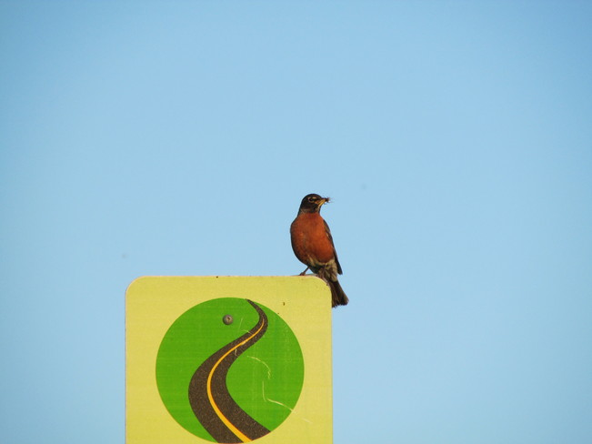 Robin on a Sign Calgary, Alberta Canada