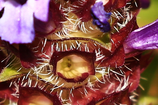 Tiny flower close-up look like human eye Surrey, British Columbia Canada