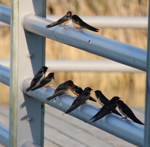 Barn Swallows hanging out Welland, Ontario Canada