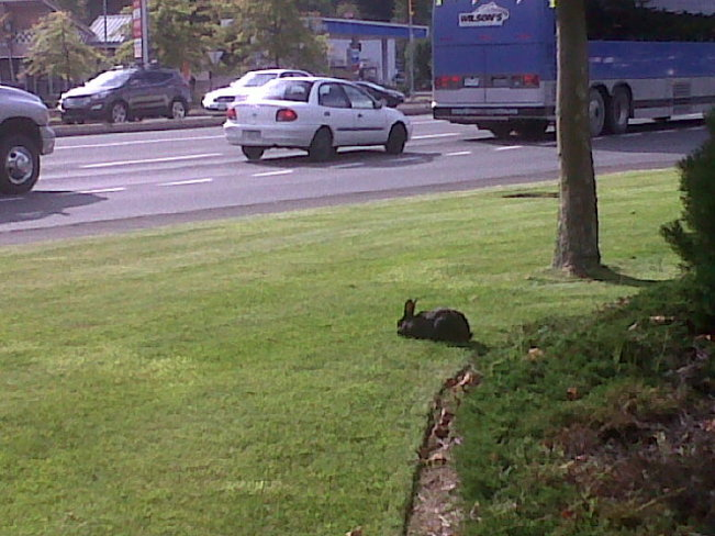 Black rabbit watching cars go by. Courtenay, British Columbia Canada