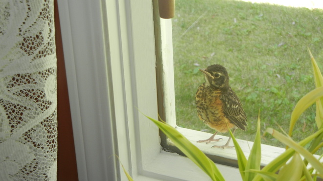 Fledgling can not figure out glass Choiceland, Saskatchewan Canada