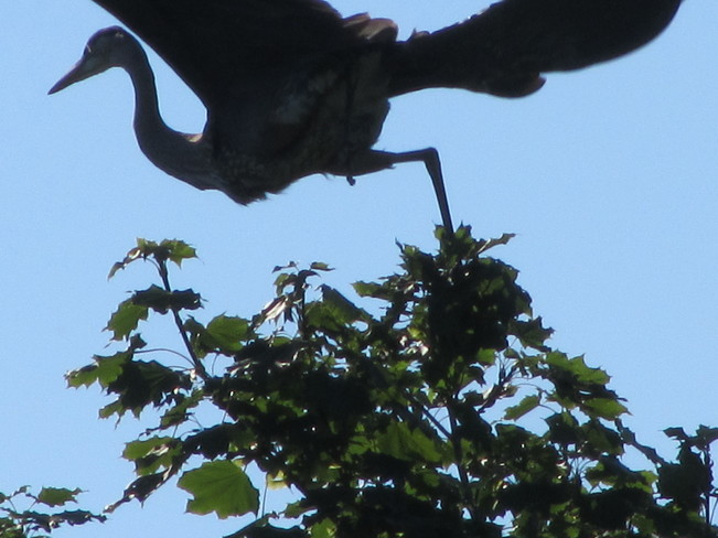 Great Blue Heron taking off Vernon, British Columbia Canada