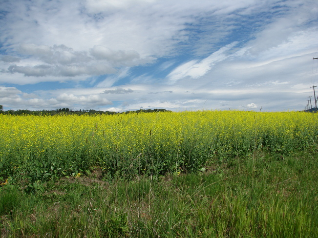 Golden Fields and Sunshine Smithers, British Columbia Canada