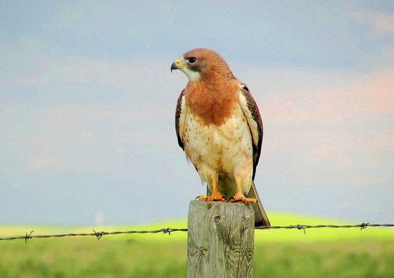 4a. Swainson's Hawk