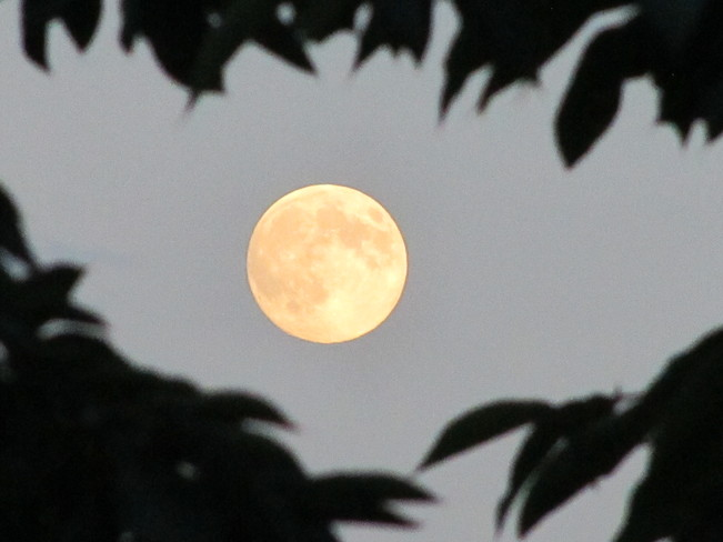 Full moon framed by cherry tree Vernon, British Columbia Canada