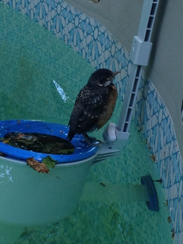 Robin in pool cooling off!! Newcastle, New Brunswick Canada