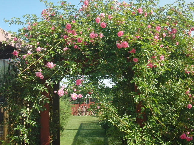 Summer roses Murray River, Prince Edward Island Canada