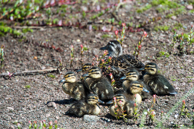 ducklings on cranberry farm Bishop's Falls, Newfoundland and Labrador Canada