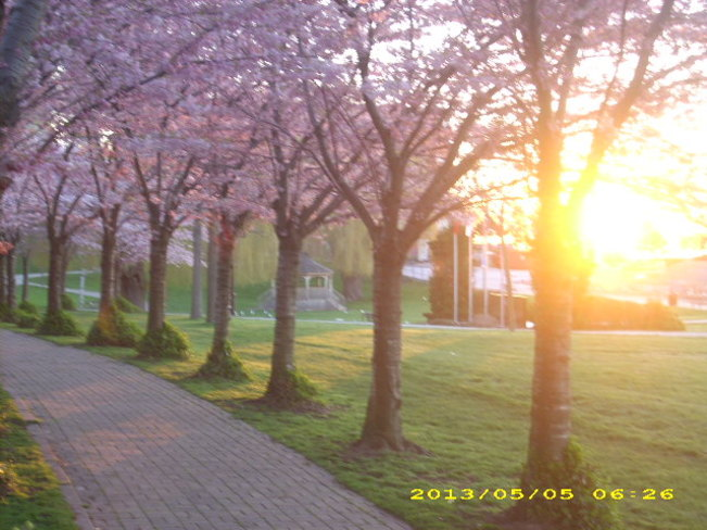 Cherry Blossoms At Dawn Oakville, Ontario Canada