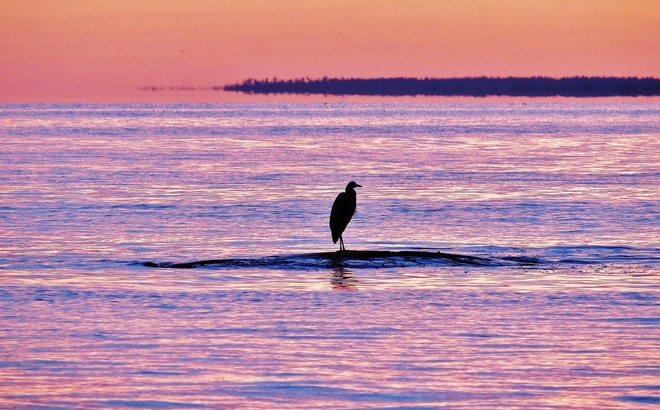 Unmistakable silhouette of Blue Heron. North Bay, Ontario Canada