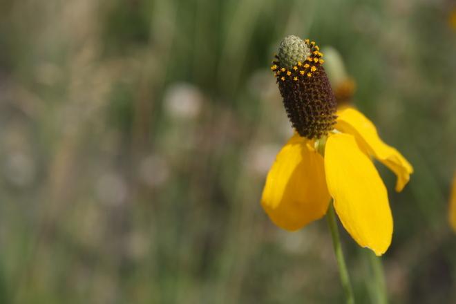 Yellow Wildflower Winnipeg, Manitoba Canada