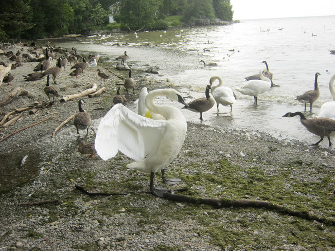 Trumpeter Swan J52 drives off a cygnet swan Mississauga, Ontario Canada