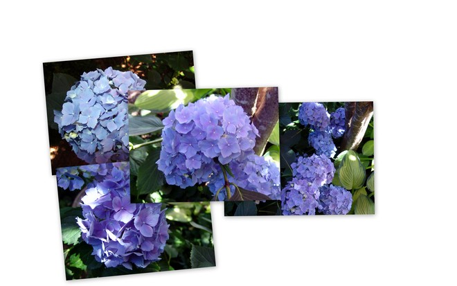 hydrangea collage View Royal, British Columbia Canada