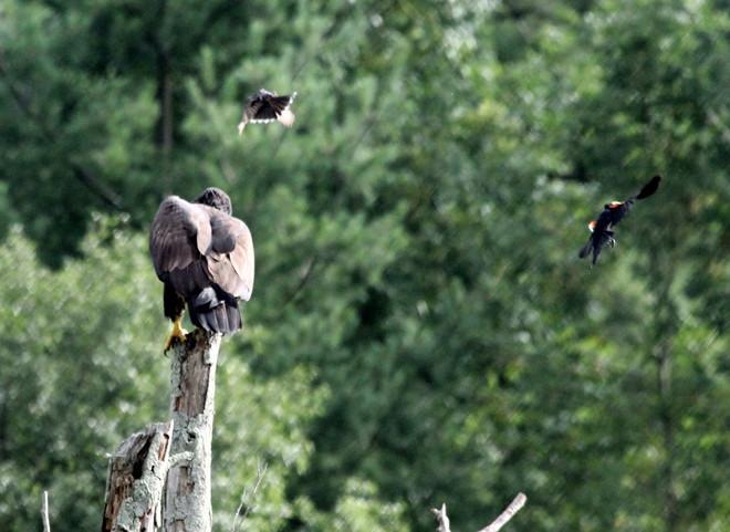 Juvenile Bald Eagle Brantford, Ontario Canada