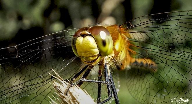 Dragonfly Portrait Smiths Falls, Ontario Canada
