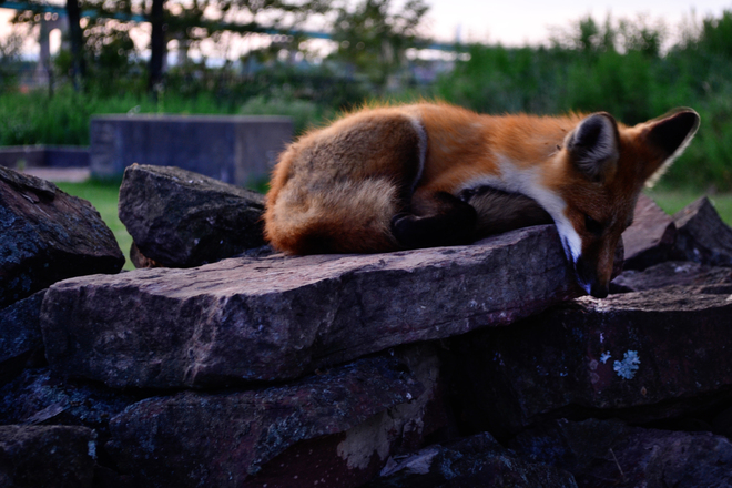 Tod the Fox Sault Ste. Marie, Ontario Canada
