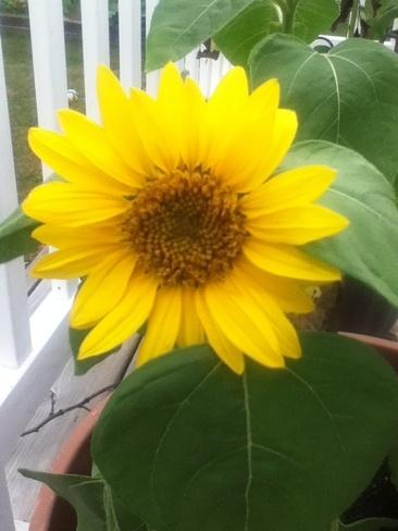 sunflower Orillia, Ontario Canada
