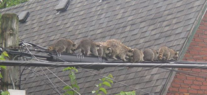Racoons on a Wire Toronto, Ontario Canada