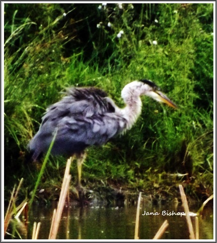 Heron In the rain Kentville, Nova Scotia Canada