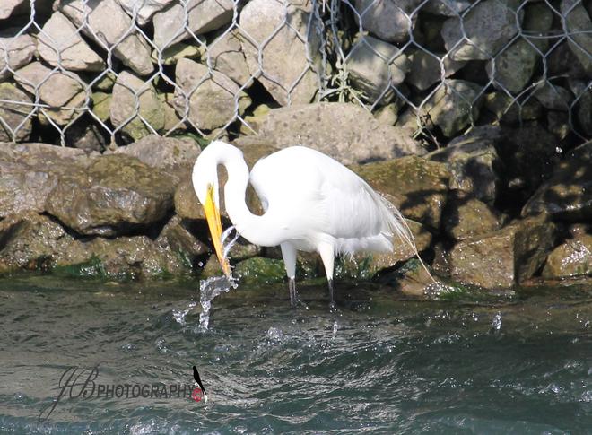 Great Egret Port Colborne, Ontario Canada