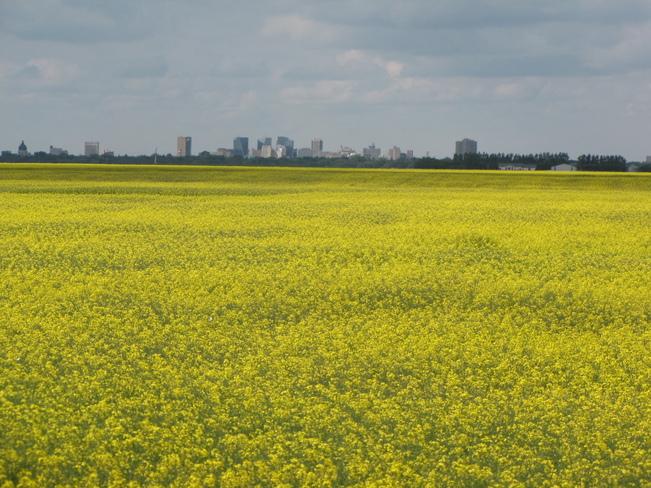 Canola Field Regina, Saskatchewan Canada
