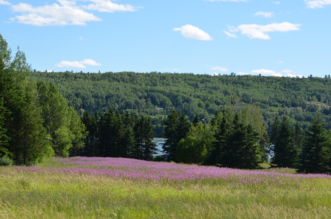 Wild Flowers in the Sun Gaspé, Quebec Canada