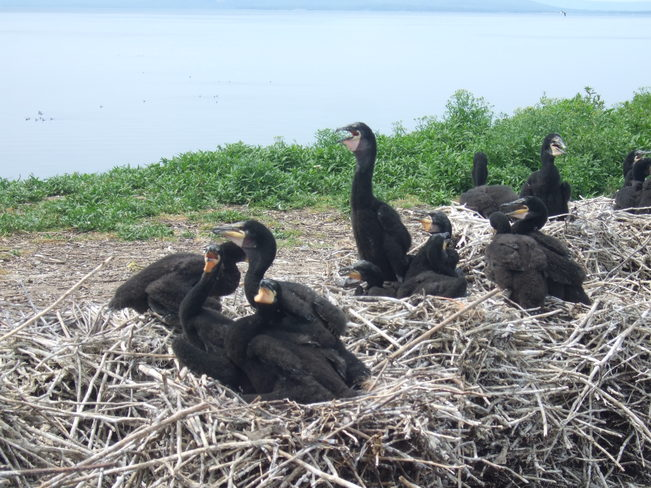 Shag Nests on Red Islands St. Peter's, Nova Scotia Canada