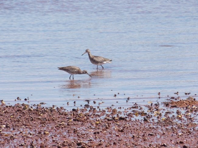 Willet New Dominion, Prince Edward Island Canada