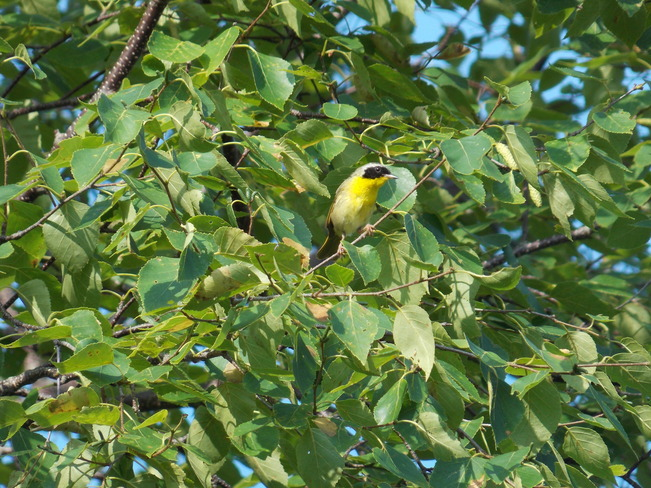 Common Yellowthroat Clyde River, Prince Edward Island Canada