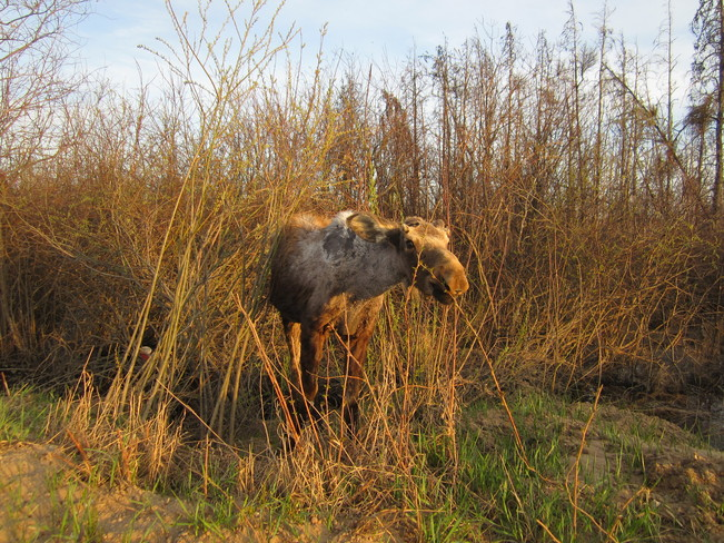 Yearling Moose Opal, Alberta Canada