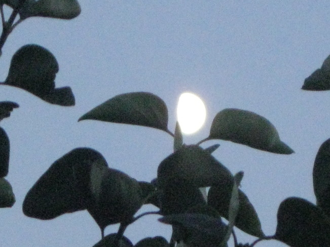 moon through the lilac tree Surrey, British Columbia Canada