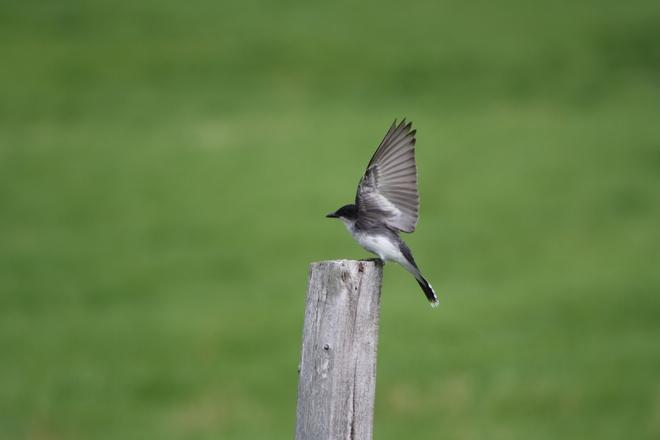 kingbird Penobsquis, New Brunswick Canada