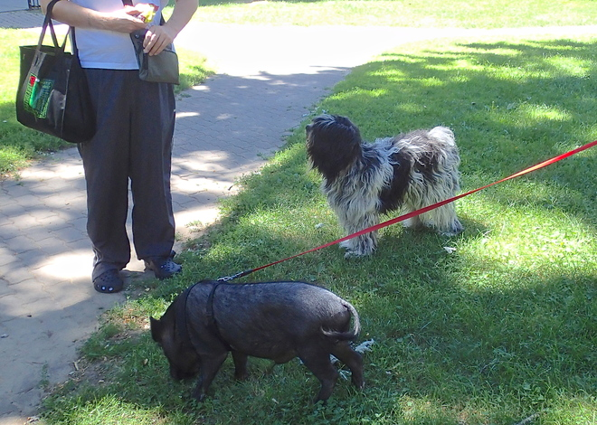 A beautiful day for a walk with the pig! Toronto, Ontario Canada