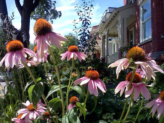 Echinacea and a busy bee Westmount, Quebec Canada