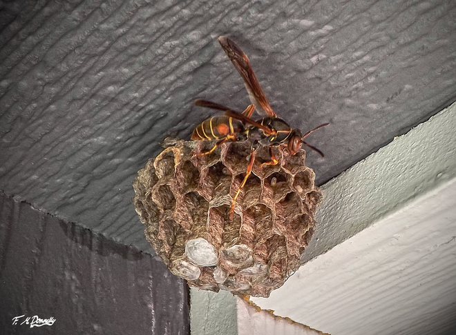 Paper Wasp building a Nest Smiths Falls, Ontario Canada