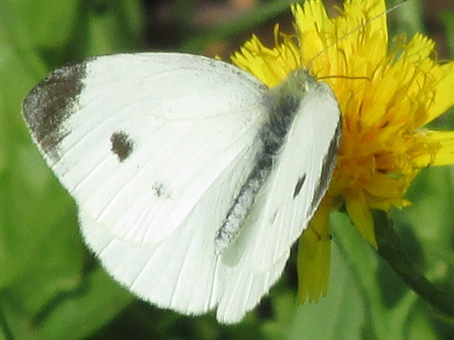 White Cabbage Butterfly on flowert Moncton, New Brunswick Canada