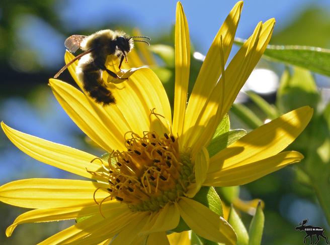 Bee collecting pollen Toronto, Ontario Canada