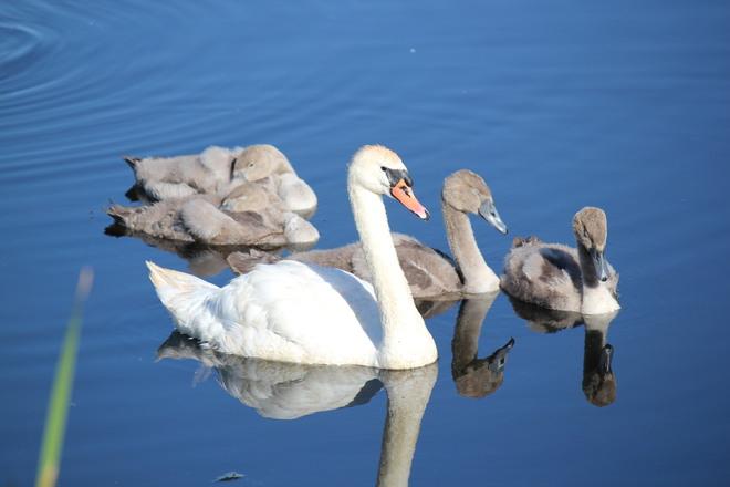 Swan Family Brighton, Ontario Canada