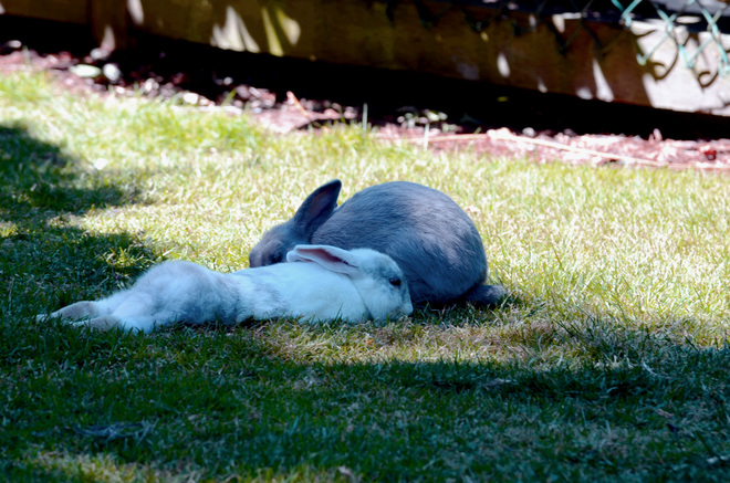 Tired Rabbits due to so much heat Richmond, British Columbia Canada