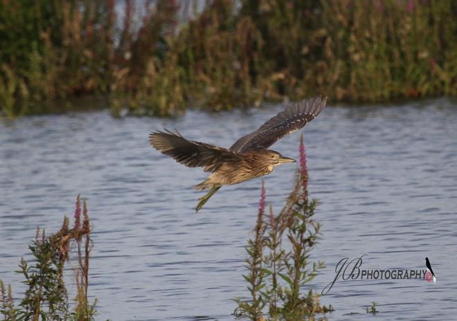 Juvenile Black-crowned Nihgt-Heron Port Colborne, Ontario Canada