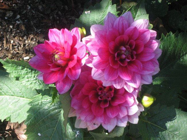 my first blooming dahlias Surrey, British Columbia Canada