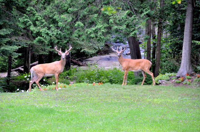 Deer Friends North Bay, Ontario Canada
